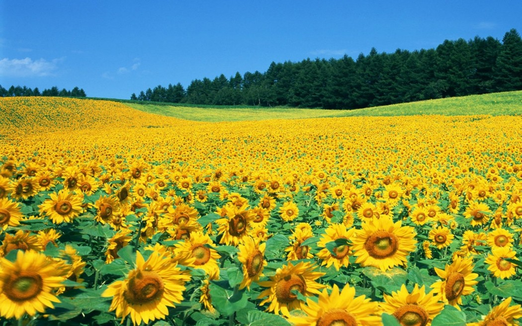 Sunflower-Field-Pictures-Background-Wallpaper-HD-Sunflower-Field-Pictures-1920x1200
