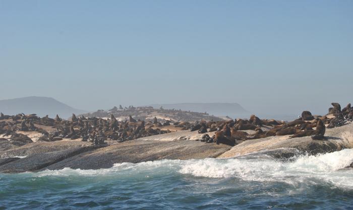 Kết quả hình ảnh cho dđảo hải cẩu nam phi